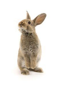 Rabbit facing left