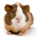 Oxbow articles on caring for your guinea pig care